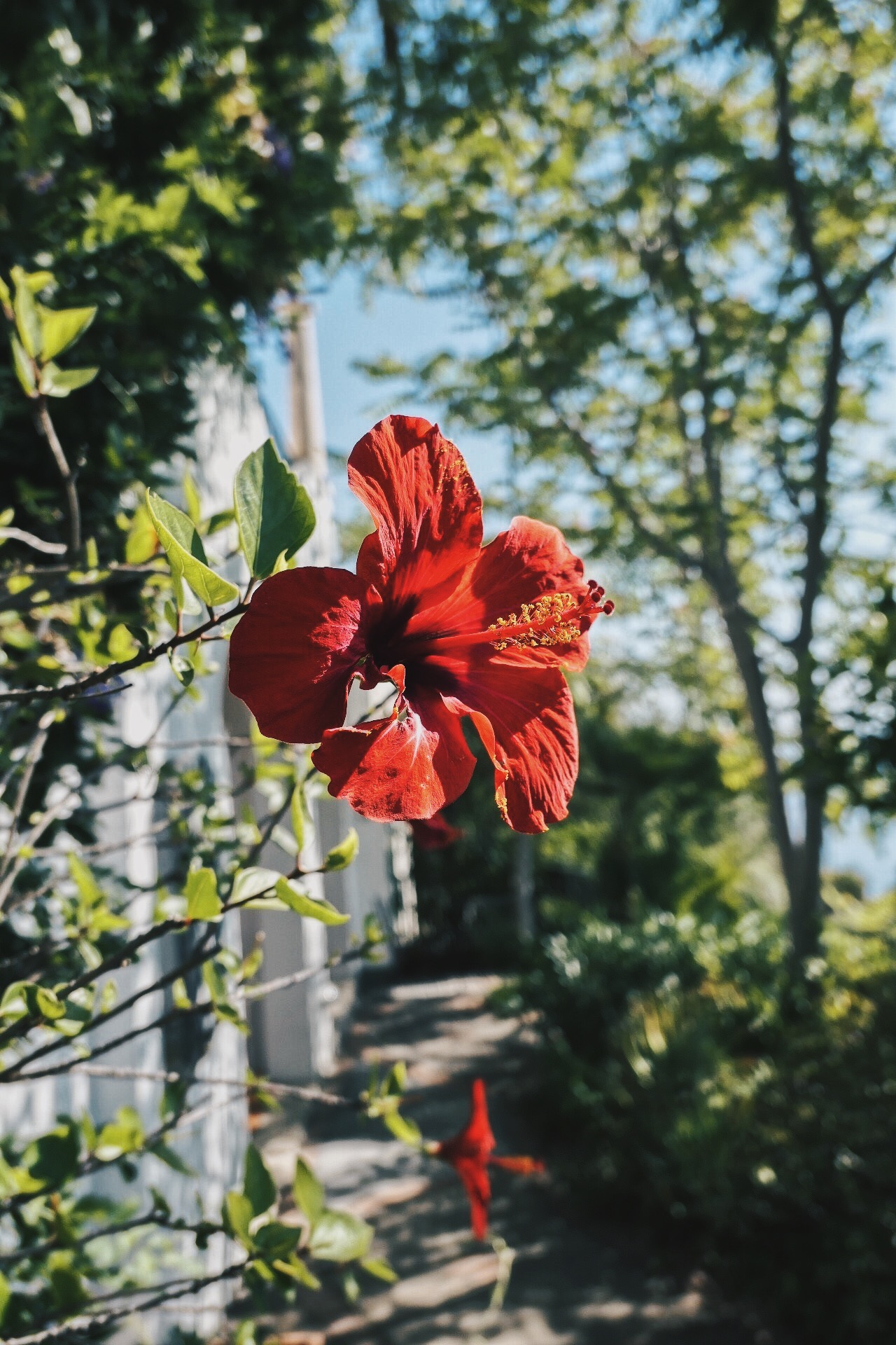 Hibiscus Terra Rossa